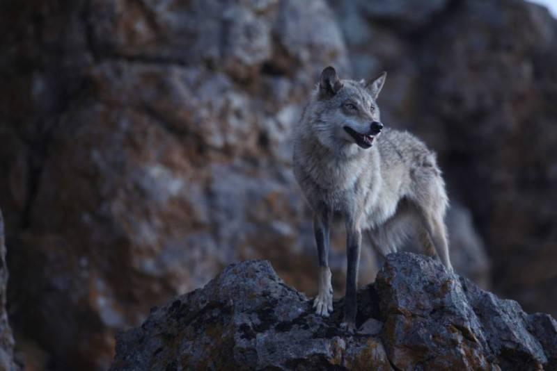 L'ultimo lupo 2 (Copia)