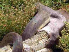 pitone mangia coccodrillo (1)